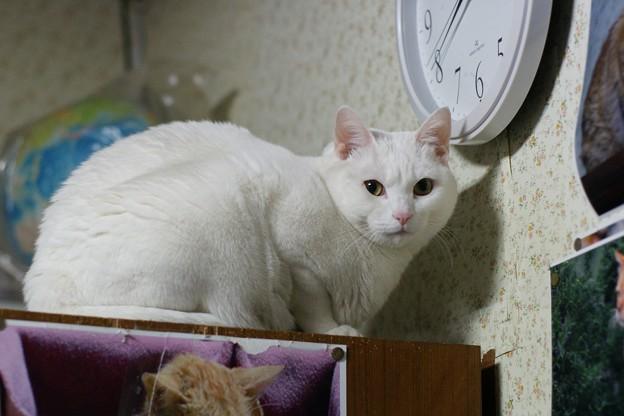 2018年2月9日のシロちゃん(雌4歳)
