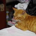 写真: 2010年6月7日の茶トラのボクチン(6歳)