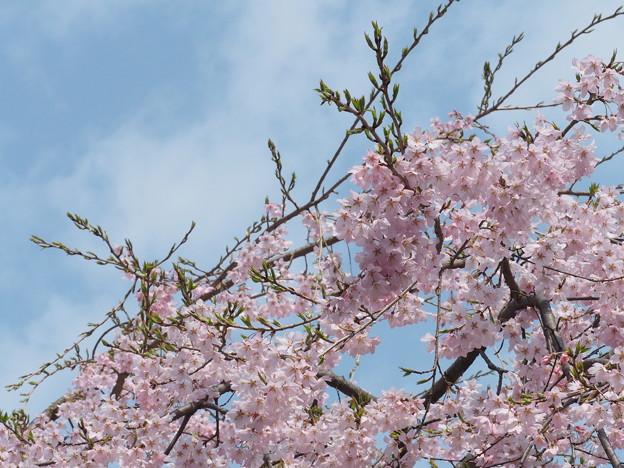 榴ヶ岡公園 桜