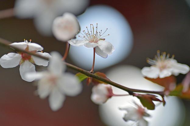 月見桜さん♪