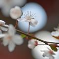 Photos: 月見桜さん♪