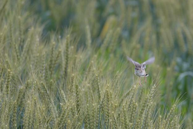 麦畑でつかまえて♪