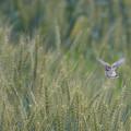 Photos: 麦畑でつかまえて♪