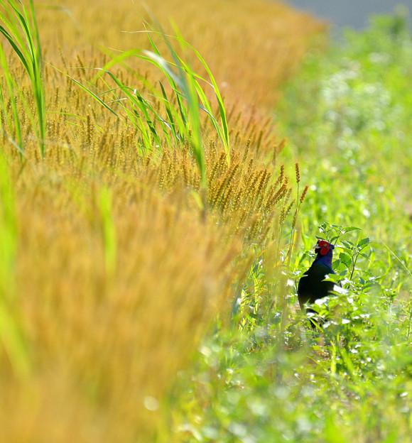黄金色の麦畑で^^