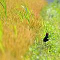 Photos: 黄金色の麦畑で^^