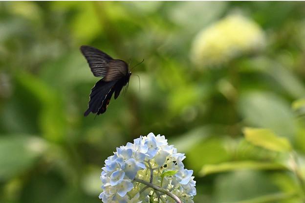 咲きはじめの紫陽花さんに