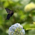 Photos: 咲きはじめの紫陽花さんに