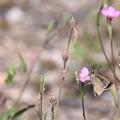 Photos: セセリン花♪