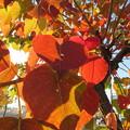 Photos: ナンキンハゼの紅葉