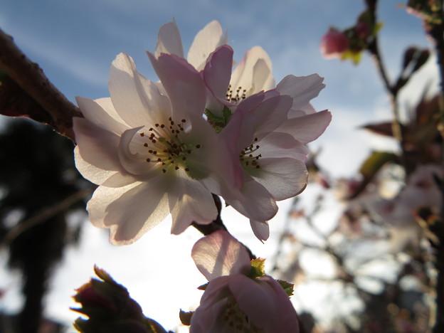 10月桜でしょうか~