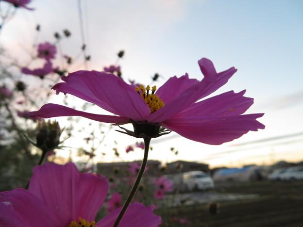 Photos: コスモス