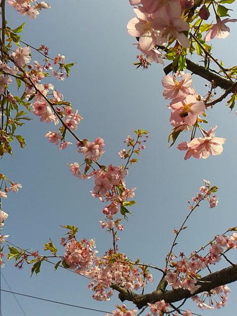 お日さまが出るとあったかいね。早咲株はもう葉桜だよ