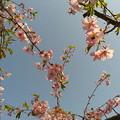 写真: お日さまが出るとあったかいね。早咲株はもう葉桜だよ