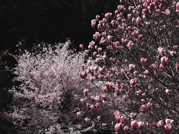写真: 木蘭と桜
