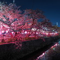 写真: みどり川の桜2