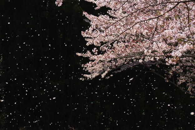 写真: 花舞う