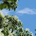 写真: なんじゃもんじゃの木2