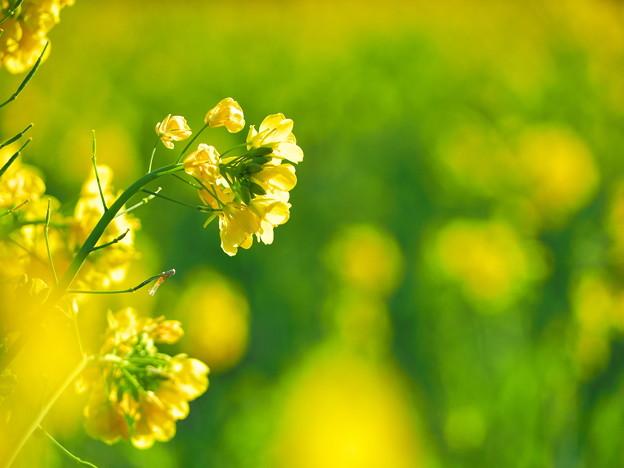 なの花まつり1