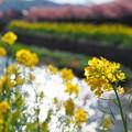 Photos: 免々田川菜の花・桜まつり5