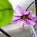 Photos: 茄子の花