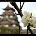 桃山の桃の花