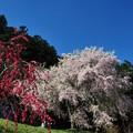 写真: ハナモモと枝垂れ桜