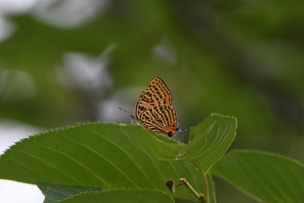 ウラナミアカシジミ
