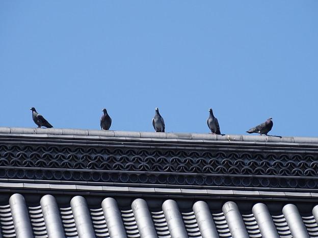 鳩さんカメラ目線( ´艸`)