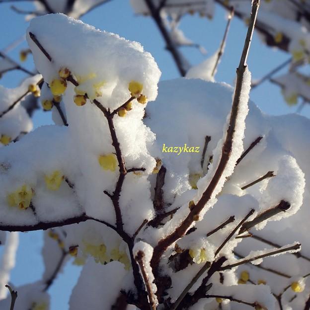 写真: 冠雪蝋梅