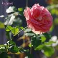 写真: 真冬のバラ