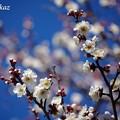 写真: 三分咲き