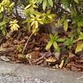 写真: にゃん法 '木の葉隠れ'