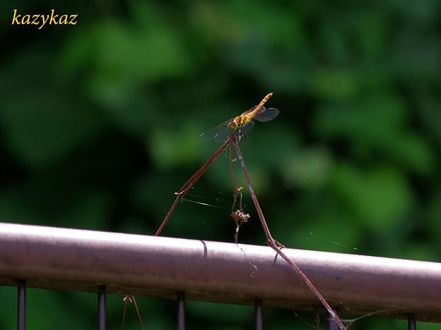 フェンスに絡む枯れ草に張った蜘蛛の巣なんかにゃ目もくれず