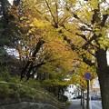 Photos: 桜、銀杏、山茶花