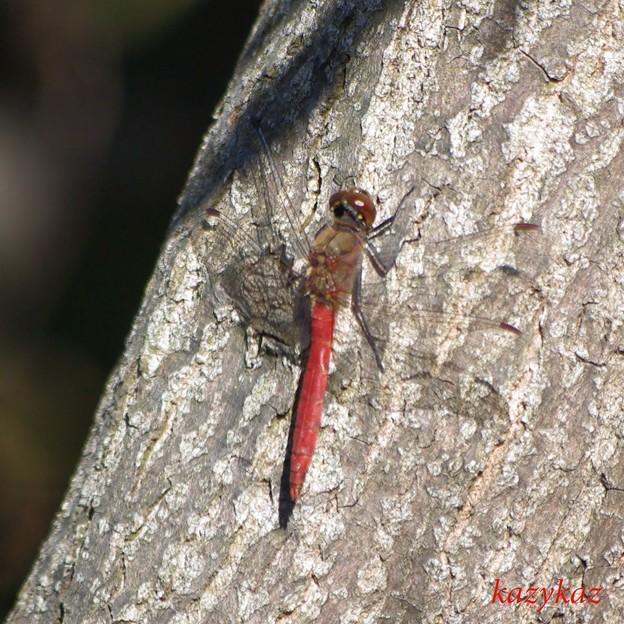 蜻蛉もおだてりゃ木に登る