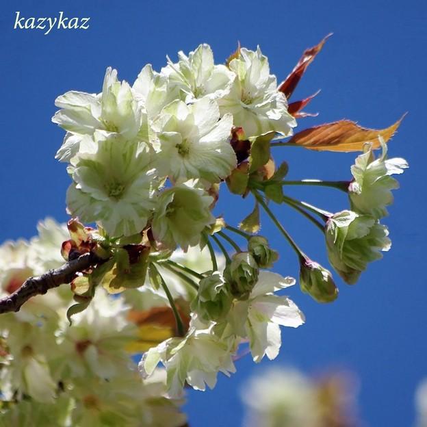 鬱金桜<1>