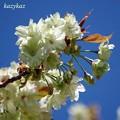 Photos: 鬱金桜<1>