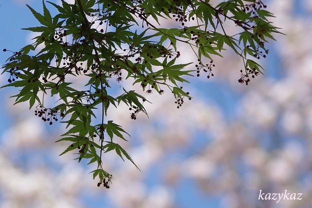 紅葉(もみじ)越しの春