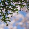 Photos: 紅葉(もみじ)越しの春
