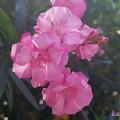 Photos: 私ピンクの...
