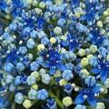 Photos: 梅雨菓子の花