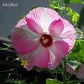 Photos: Hibiscus moscheutos