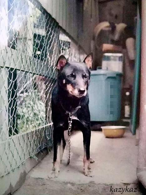 北海道犬・雌<めり>