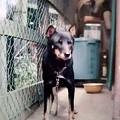 Photos: 北海道犬・雌<めり>