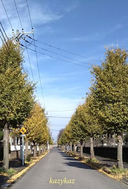 Photos: 銀杏並木<5>