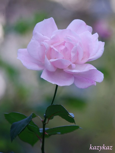 Photos: 名も無き薔薇