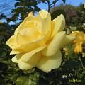 Photos: 園外のバラ
