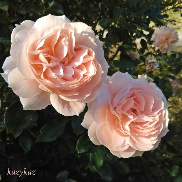 園外のバラ