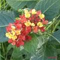 通りすがりの夏の花