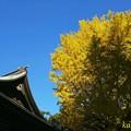 Photos: 千本公孫樹